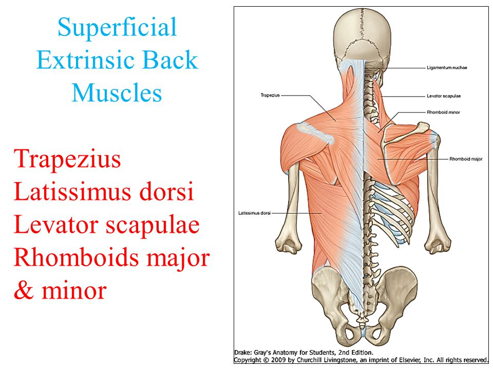 TRAPEZIUS  Origin:  Origin: Spines of cervical & thoracic vertebrae  Insertion:  Insertion: lateral 1/3 of clavicle + acromion & spine of scapula.