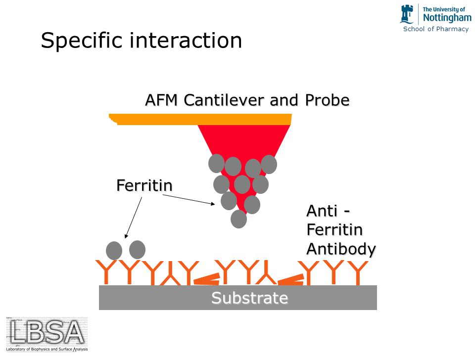 School of Pharmacy Specific interaction Anti - Ferritin Antibody Ferritin AFM Cantilever and Probe Substrate