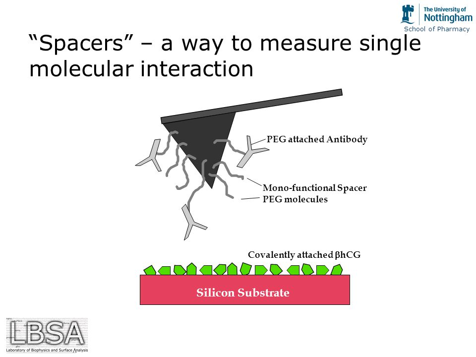School of Pharmacy Spacers – a way to measure single molecular interaction PEG attached Antibody Mono-functional Spacer PEG molecules Silicon Substrate Covalently attached  hCG