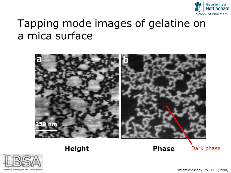 School of Pharmacy Tapping mode images of gelatine on a mica surface HeightPhase 250 nm Ultramicroscopy 75, 171 (1998) Dark phase