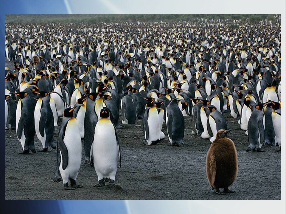 Penguins  Flightless  Denser bones (reduces buoyancy)  Layer of fat plus feathers for warmth  Southern hemisphere  Mating practices
