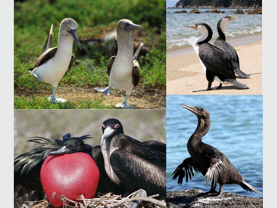Pelicans and Relatives  Webbing between toes  Fish eaters  Webbing between toes  Fish eaters