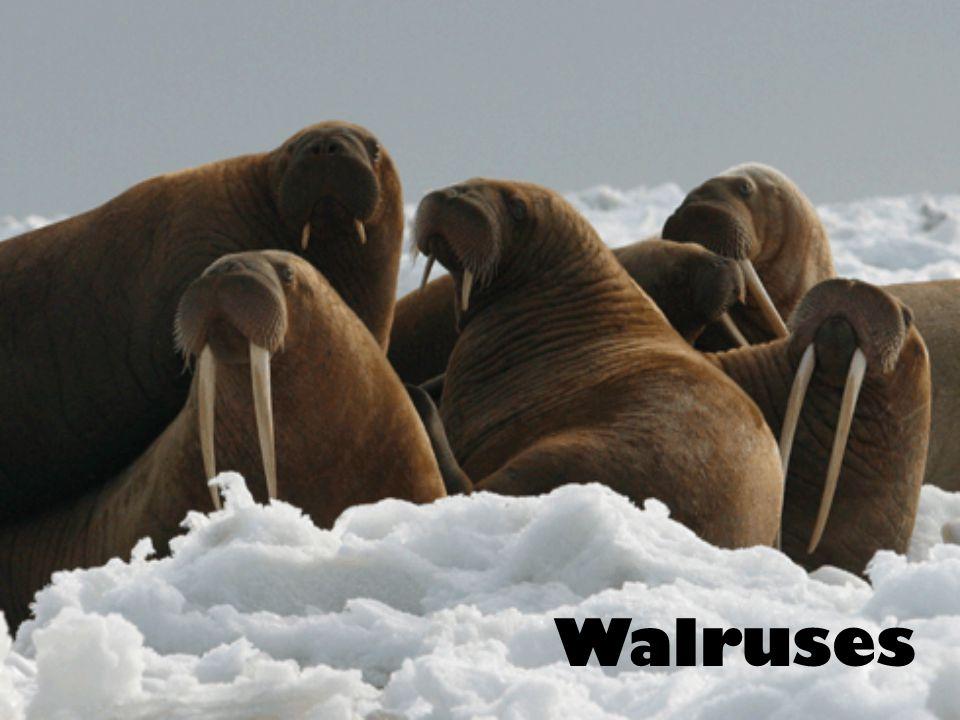 Sea Lions and Fur Seals