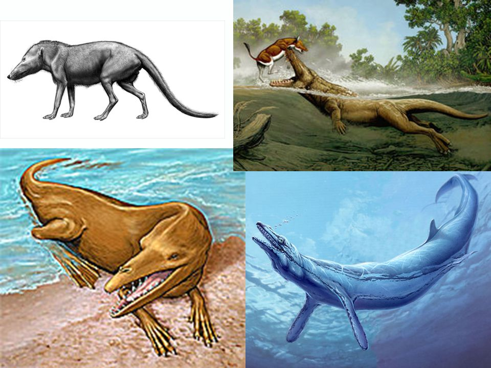 Cetaceans  Largest group of marine mammals  Entirely aquatic  Convergent evolution  Largest group of marine mammals  Entirely aquatic  Convergen