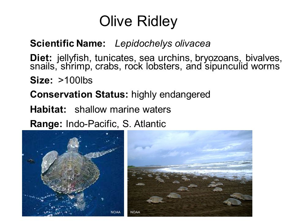 Olive Ridley NOAA Scientific Name: Lepidochelys olivacea Diet: jellyfish, tunicates, sea urchins, bryozoans, bivalves, snails, shrimp, crabs, rock lobsters, and sipunculid worms Size: >100lbs Conservation Status: highly endangered Habitat: shallow marine waters Range: Indo-Pacific, S.