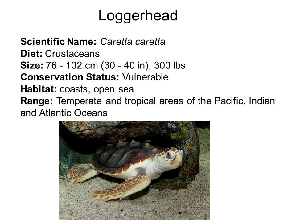Loggerhead NOAA Scientific Name: Caretta caretta Diet: Crustaceans Size: 76 - 102 cm (30 - 40 in), 300 lbs Conservation Status: Vulnerable Habitat: coasts, open sea Range: Temperate and tropical areas of the Pacific, Indian and Atlantic Oceans