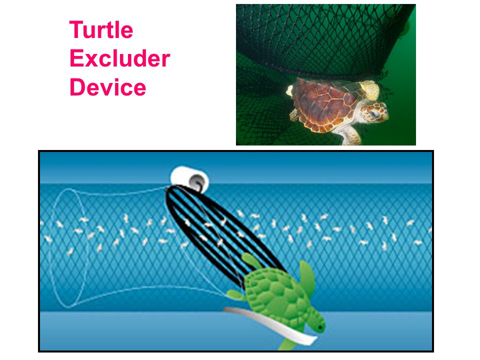 Turtle Excluder Device