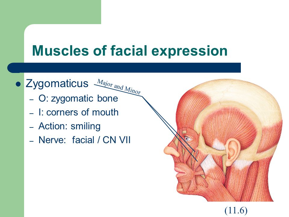 Muscles of facial expression Zygomaticus – O: zygomatic bone – I: corners of mouth – Action: smiling – Nerve: facial / CN VII (11.6) Major and Minor