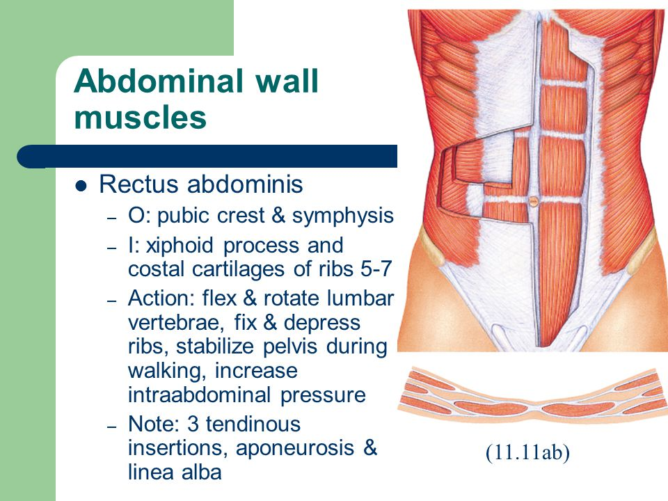 Abdominal wall muscles Rectus abdominis – O: pubic crest & symphysis – I: xiphoid process and costal cartilages of ribs 5-7 – Action: flex & rotate lumbar vertebrae, fix & depress ribs, stabilize pelvis during walking, increase intraabdominal pressure – Note: 3 tendinous insertions, aponeurosis & linea alba (11.11ab)