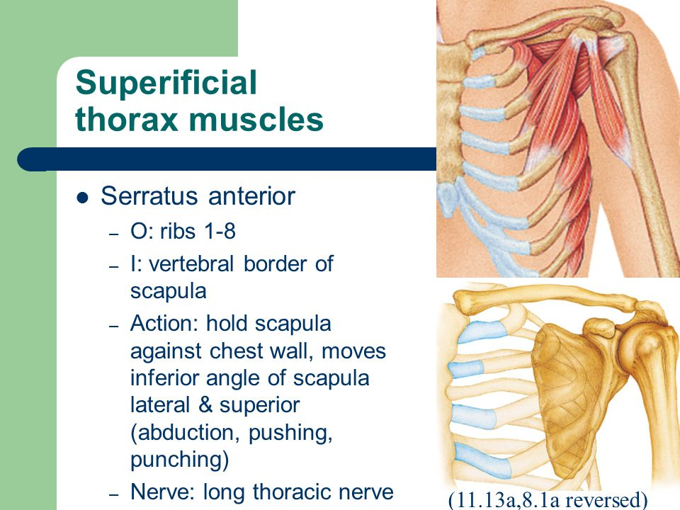 Superificial thorax muscles Serratus anterior – O: ribs 1-8 – I: vertebral border of scapula – Action: hold scapula against chest wall, moves inferior angle of scapula lateral & superior (abduction, pushing, punching) – Nerve: long thoracic nerve (11.13a,8.1a reversed)