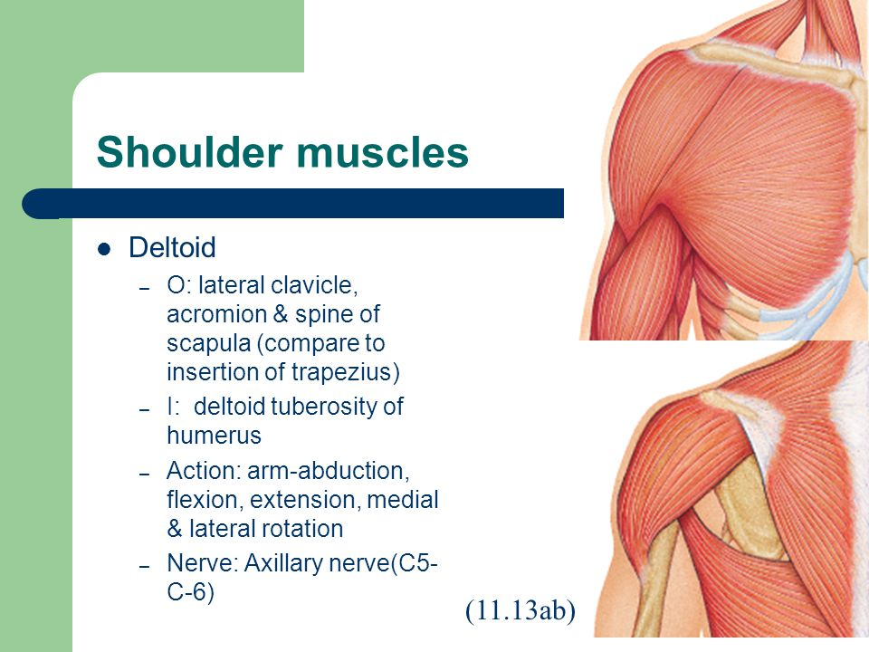 Shoulder muscles Deltoid – O: lateral clavicle, acromion & spine of scapula (compare to insertion of trapezius) – I: deltoid tuberosity of humerus – Action: arm-abduction, flexion, extension, medial & lateral rotation – Nerve: Axillary nerve(C5- C-6) (11.13ab)