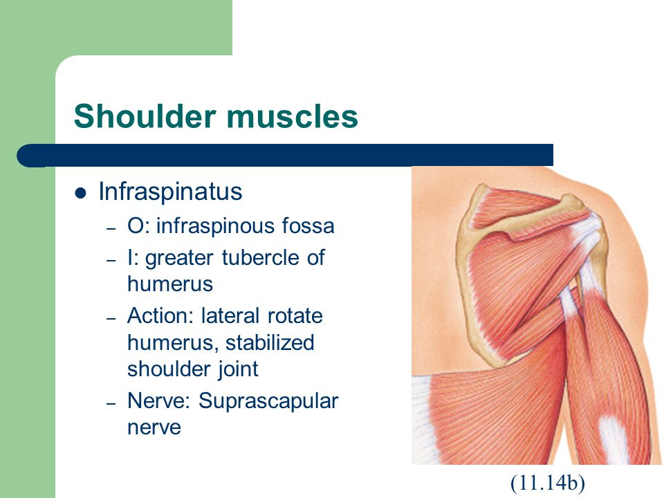 Shoulder muscles Infraspinatus – O: infraspinous fossa – I: greater tubercle of humerus – Action: lateral rotate humerus, stabilized shoulder joint – Nerve: Suprascapular nerve (11.14b)
