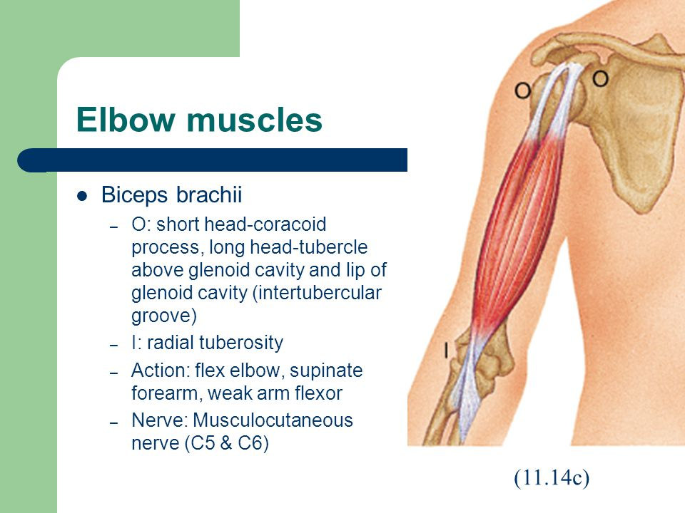 Elbow muscles Biceps brachii – O: short head-coracoid process, long head-tubercle above glenoid cavity and lip of glenoid cavity (intertubercular groove) – I: radial tuberosity – Action: flex elbow, supinate forearm, weak arm flexor – Nerve: Musculocutaneous nerve (C5 & C6) (11.14c)