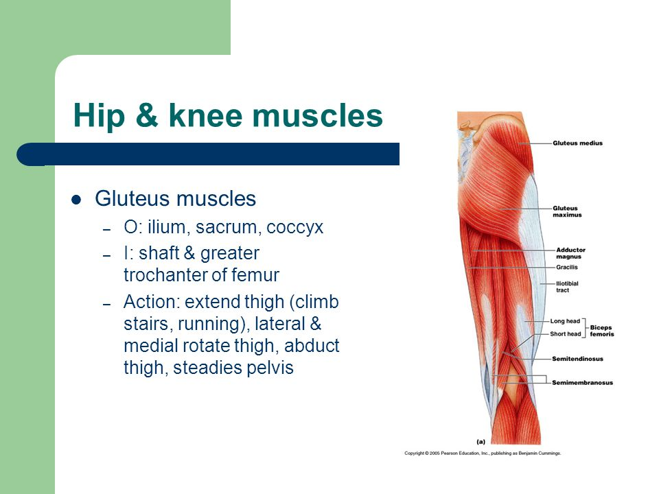 Hip & knee muscles Gluteus muscles – O: ilium, sacrum, coccyx – I: shaft & greater trochanter of femur – Action: extend thigh (climb stairs, running), lateral & medial rotate thigh, abduct thigh, steadies pelvis