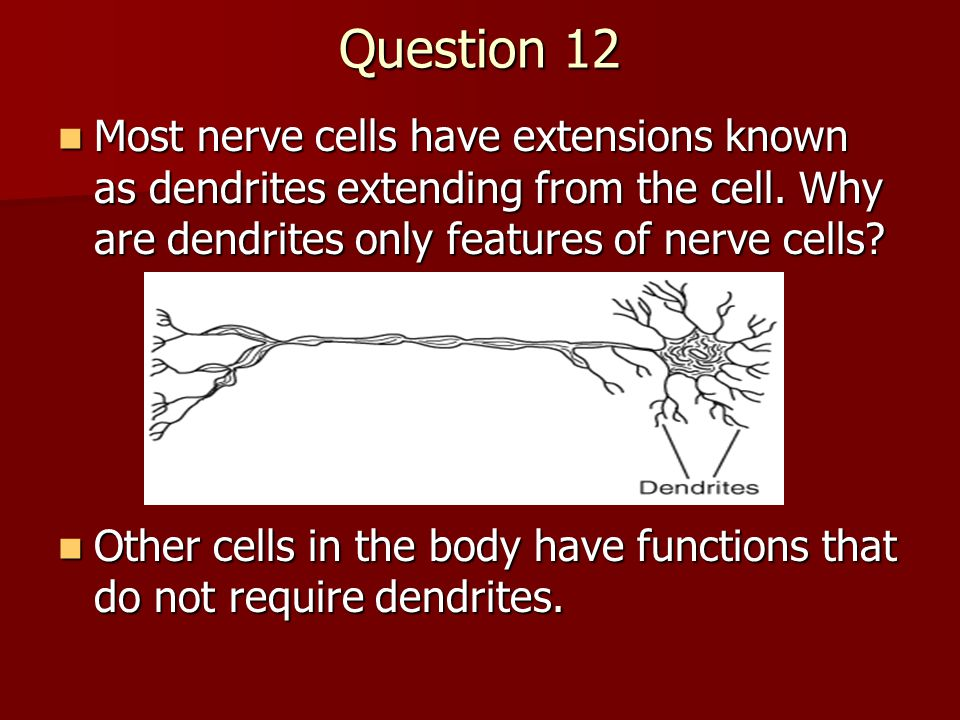Question 12 Most nerve cells have extensions known as dendrites extending from the cell. Why are dendrites only features of nerve cells? Most nerve ce