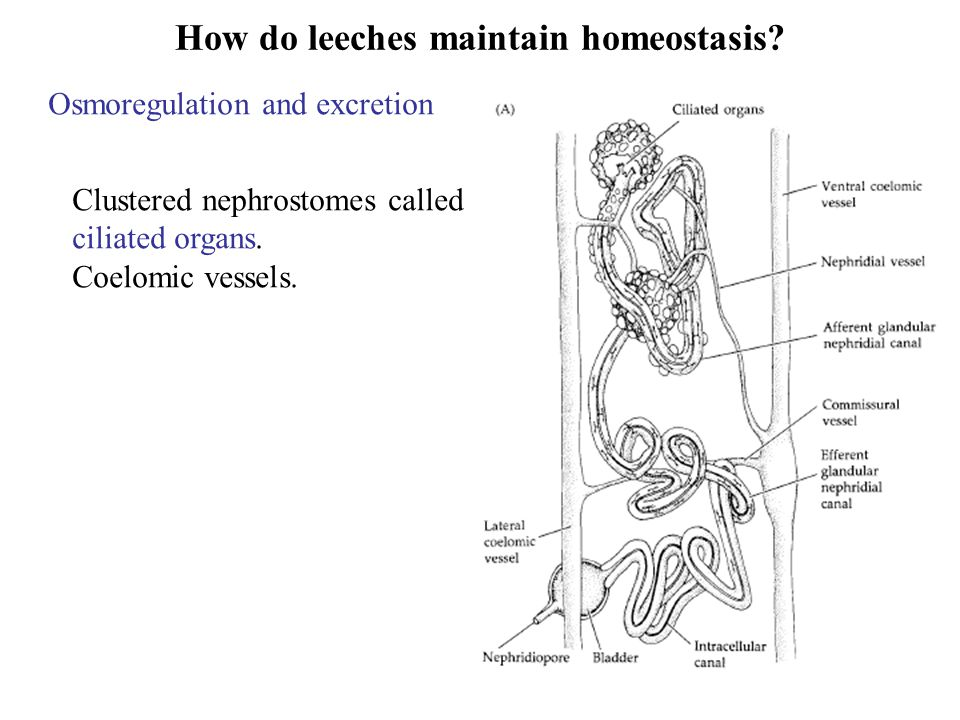 How do leeches maintain homeostasis.