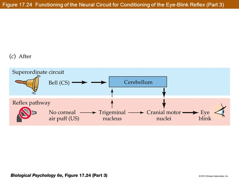 Figure 17.24 Functioning of the Neural Circuit for Conditioning of the Eye-Blink Reflex (Part 3)
