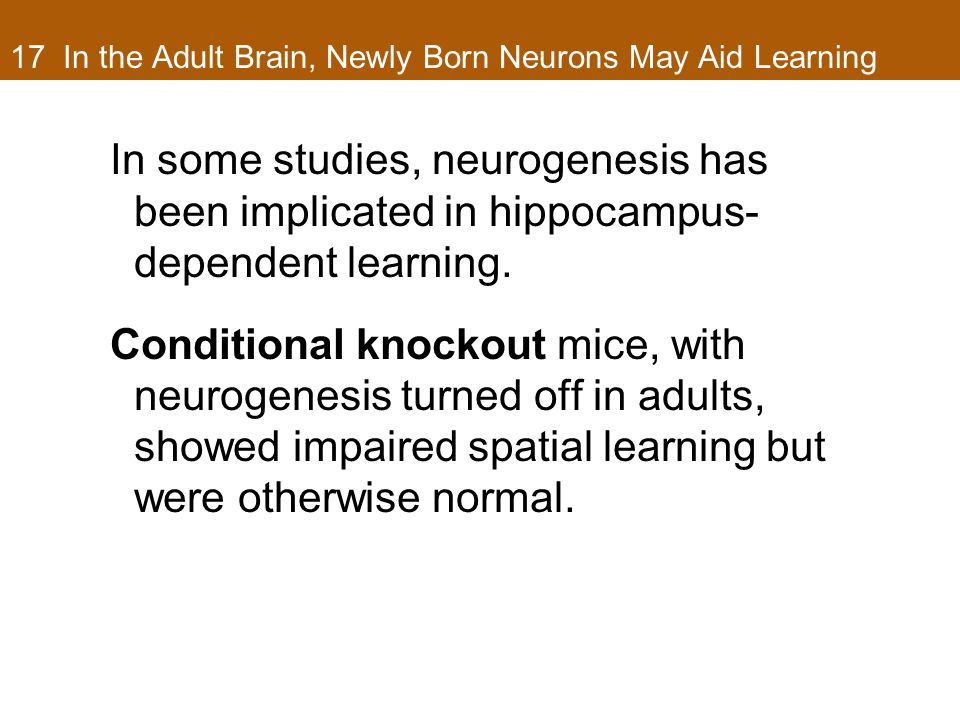 17 In the Adult Brain, Newly Born Neurons May Aid Learning In some studies, neurogenesis has been implicated in hippocampus- dependent learning.