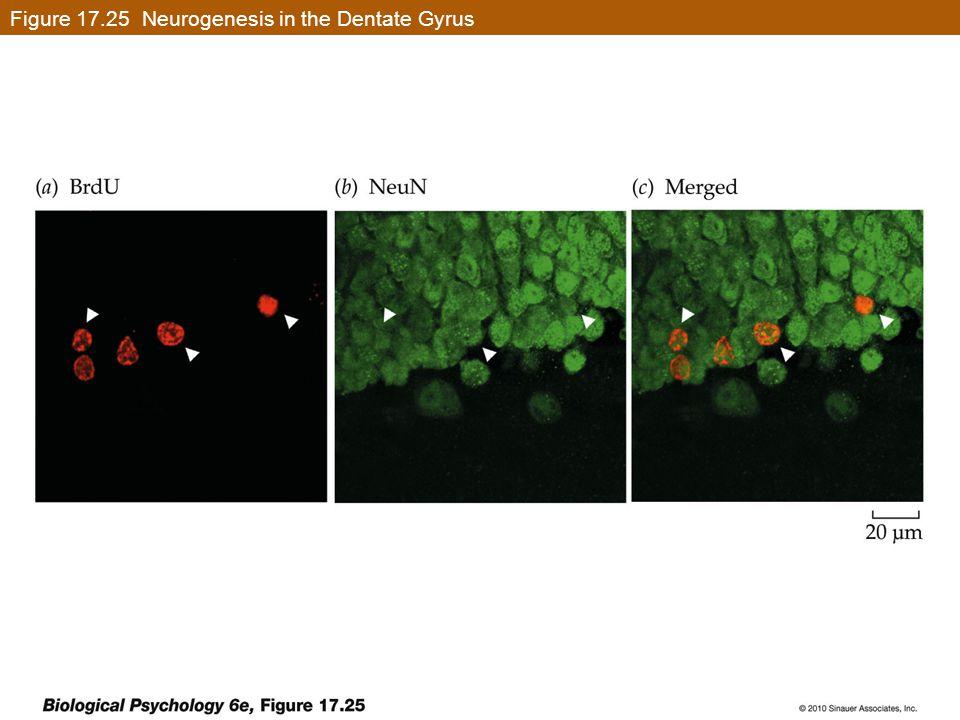Figure 17.25 Neurogenesis in the Dentate Gyrus