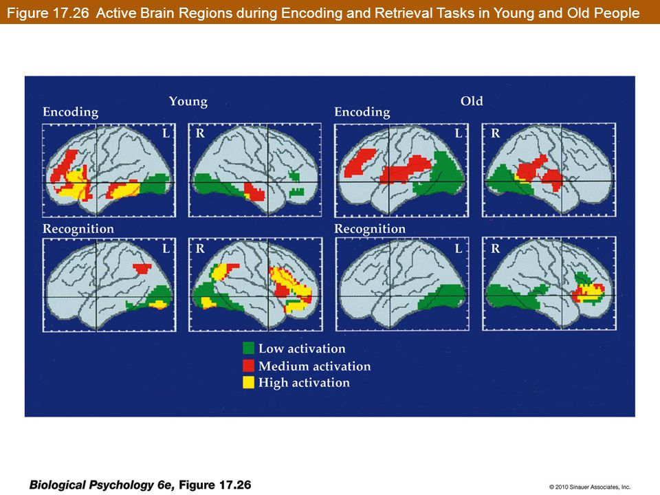 Figure 17.26 Active Brain Regions during Encoding and Retrieval Tasks in Young and Old People