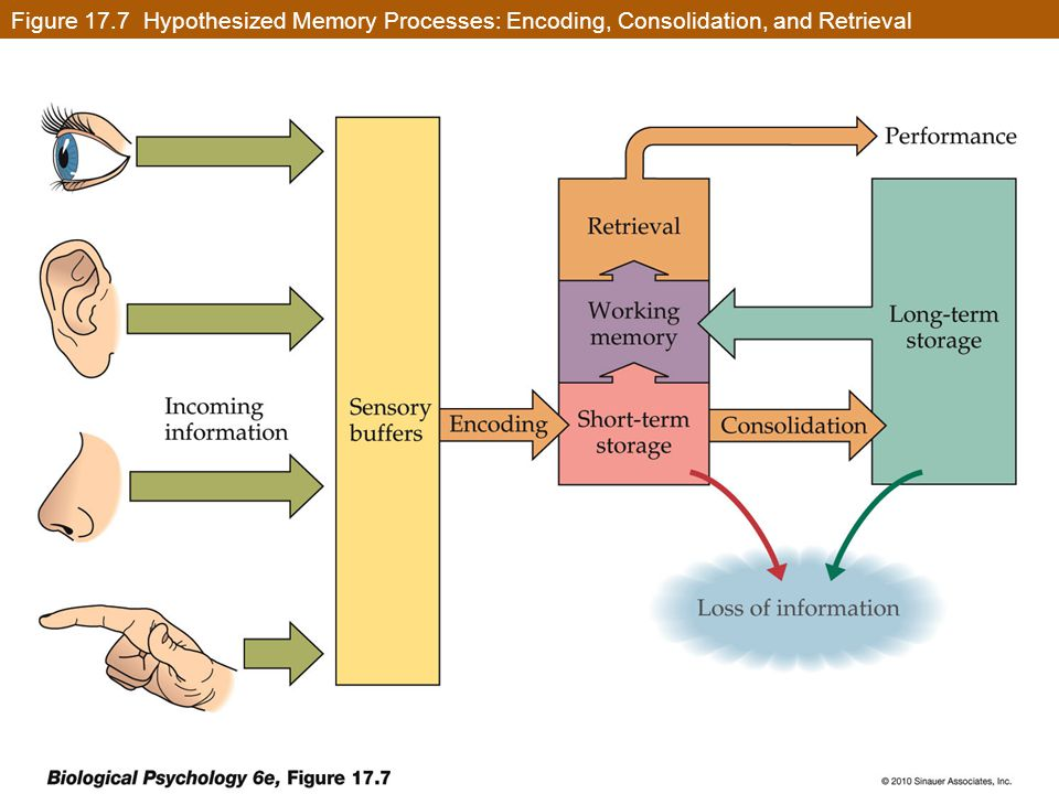 Figure 17.7 Hypothesized Memory Processes: Encoding, Consolidation, and Retrieval