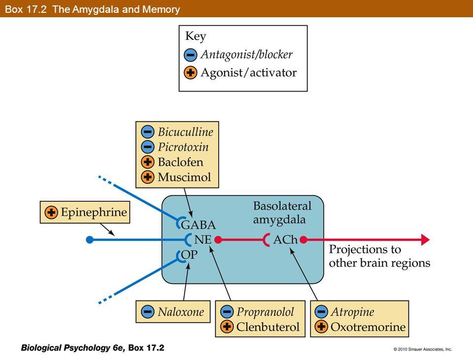 Box 17.2 The Amygdala and Memory