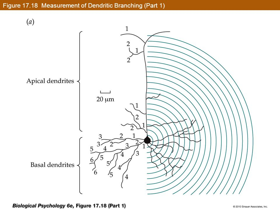Figure 17.18 Measurement of Dendritic Branching (Part 1)