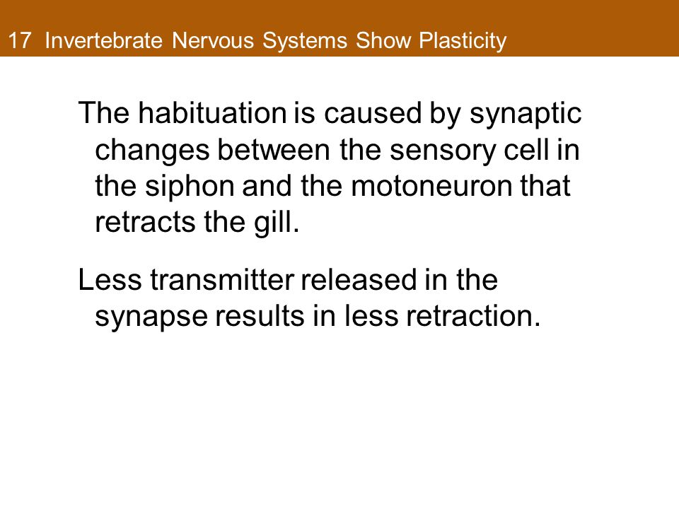 17 Invertebrate Nervous Systems Show Plasticity The habituation is caused by synaptic changes between the sensory cell in the siphon and the motoneuron that retracts the gill.