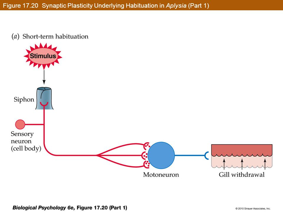Figure 17.20 Synaptic Plasticity Underlying Habituation in Aplysia (Part 1)