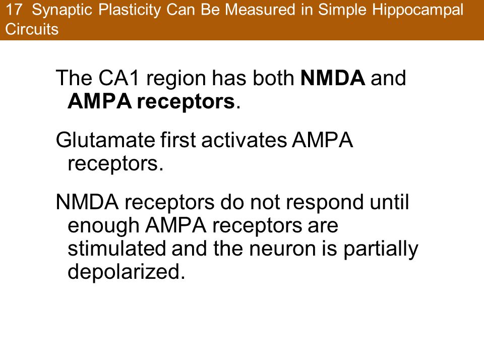 17 Synaptic Plasticity Can Be Measured in Simple Hippocampal Circuits The CA1 region has both NMDA and AMPA receptors. Glutamate first activates AMPA
