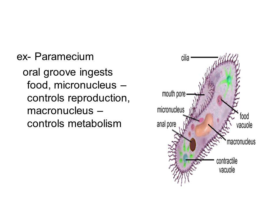 ex- Paramecium oral groove ingests food, micronucleus – controls reproduction, macronucleus – controls metabolism