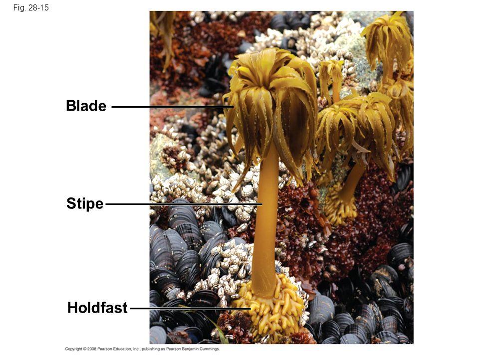 Fig. 28-15 Blade Stipe Holdfast