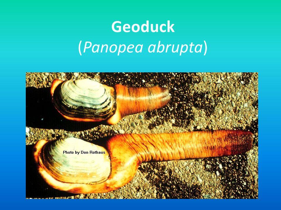 Geoduck (Panopea abrupta)