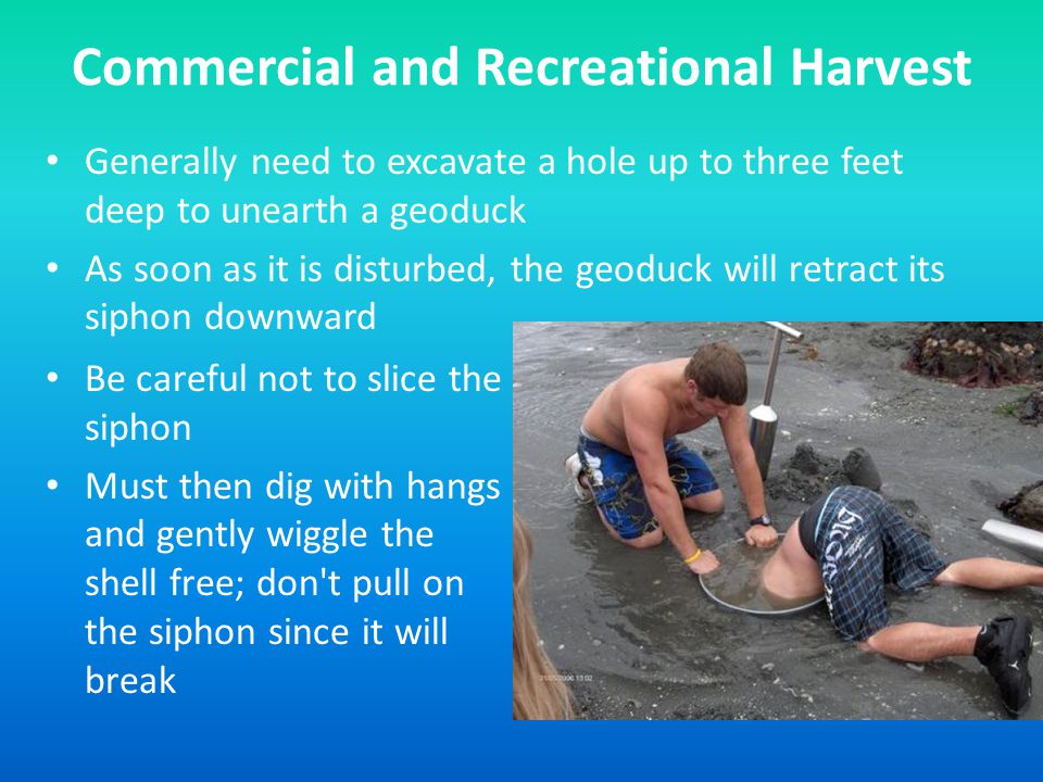 Commercial and Recreational Harvest Generally need to excavate a hole up to three feet deep to unearth a geoduck As soon as it is disturbed, the geoduck will retract its siphon downward Be careful not to slice the siphon Must then dig with hangs and gently wiggle the shell free; don t pull on the siphon since it will break