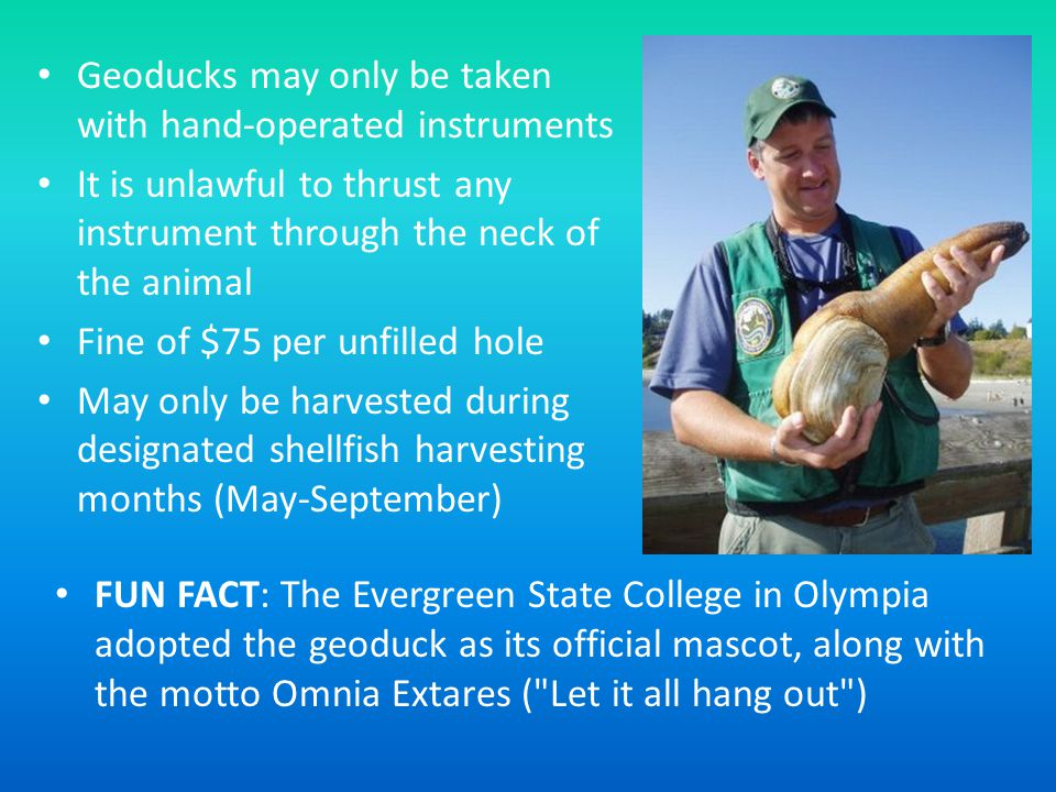 FUN FACT: The Evergreen State College in Olympia adopted the geoduck as its official mascot, along with the motto Omnia Extares ( Let it all hang out ) Geoducks may only be taken with hand-operated instruments It is unlawful to thrust any instrument through the neck of the animal Fine of $75 per unfilled hole May only be harvested during designated shellfish harvesting months (May-September)