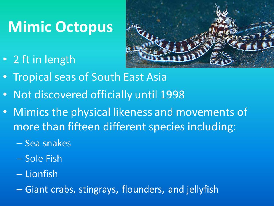 Mimic Octopus 2 ft in length Tropical seas of South East Asia Not discovered officially until 1998 Mimics the physical likeness and movements of more than fifteen different species including: – Sea snakes – Sole Fish – Lionfish – Giant crabs, stingrays, flounders, and jellyfish