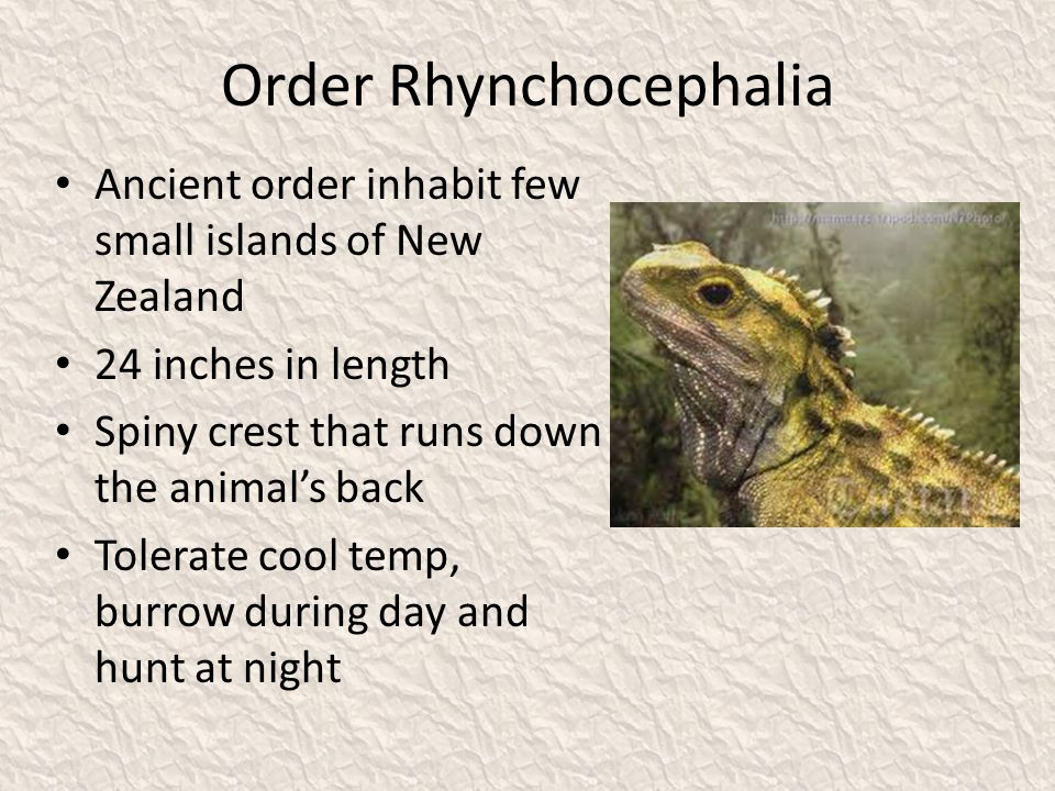 Order Rhynchocephalia Ancient order inhabit few small islands of New Zealand 24 inches in length Spiny crest that runs down the animal's back Tolerate cool temp, burrow during day and hunt at night