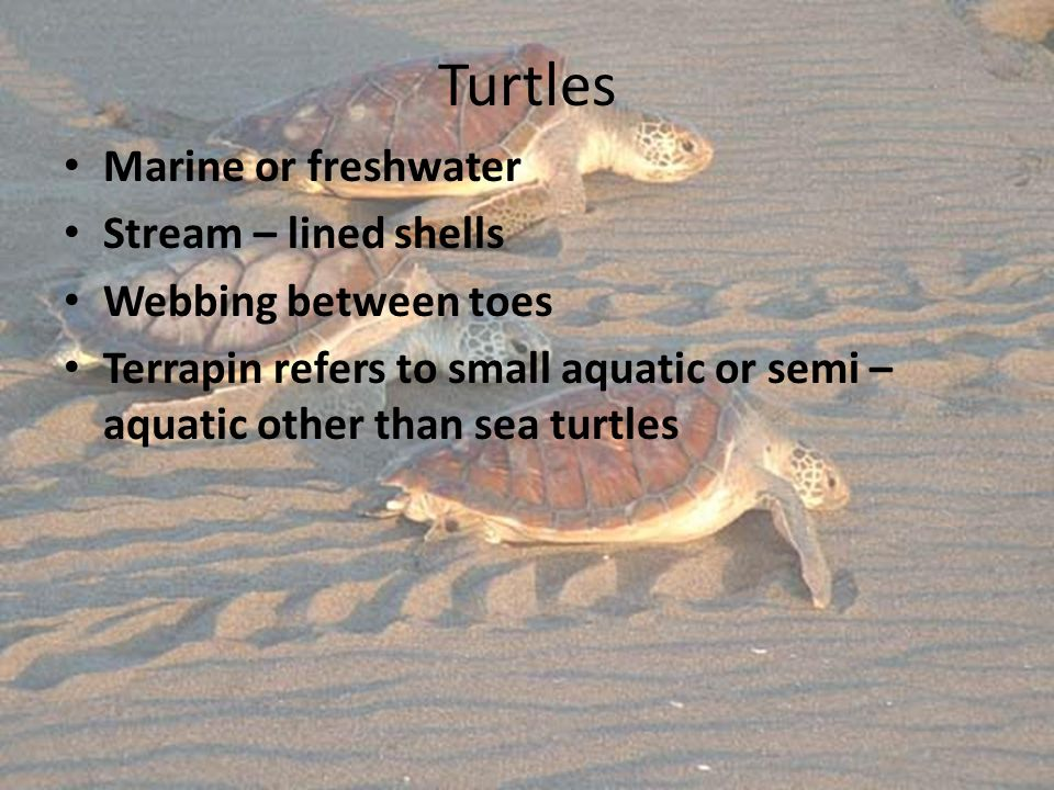 Turtles Marine or freshwater Stream – lined shells Webbing between toes Terrapin refers to small aquatic or semi – aquatic other than sea turtles