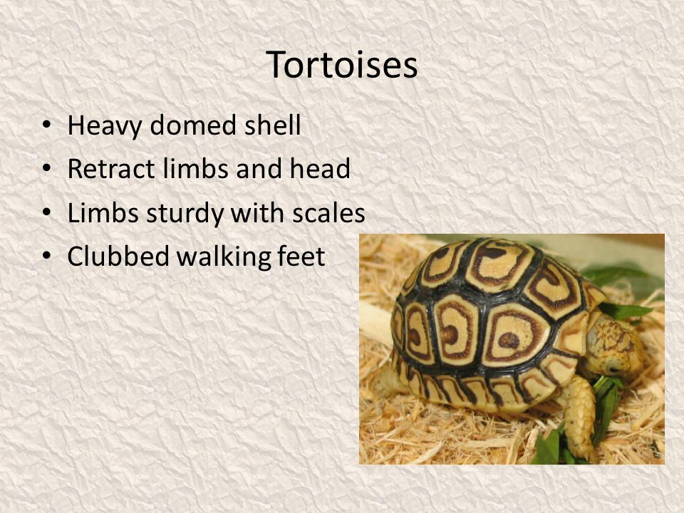 Tortoises Heavy domed shell Retract limbs and head Limbs sturdy with scales Clubbed walking feet