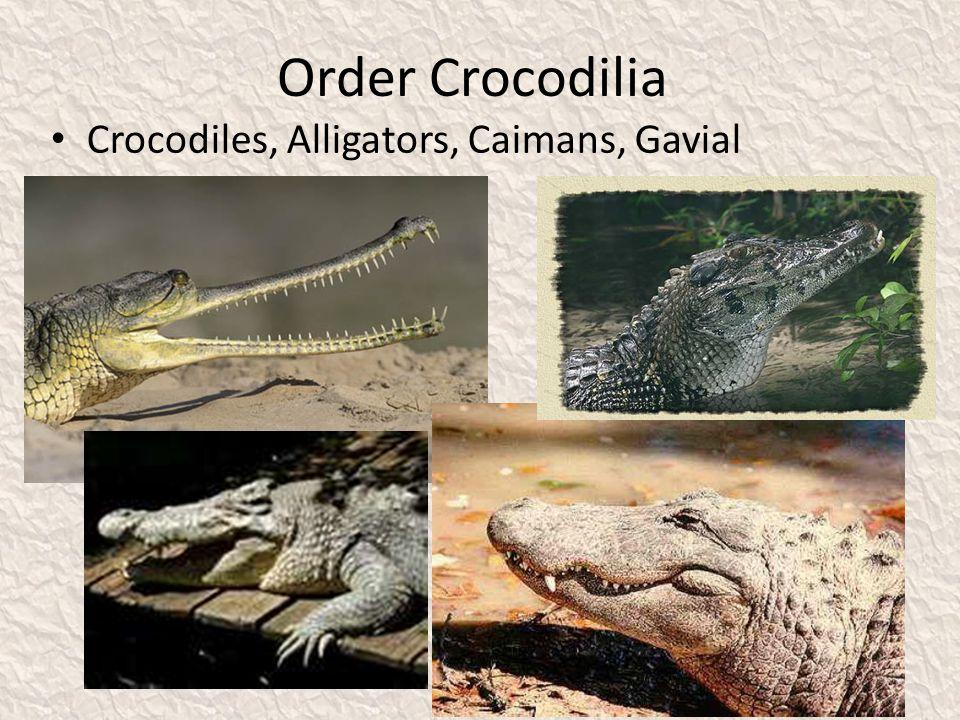 Order Crocodilia Crocodiles, Alligators, Caimans, Gavial