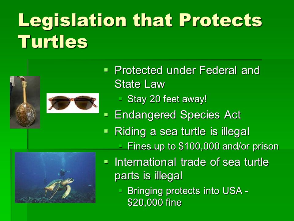 Legislation that Protects Turtles  Protected under Federal and State Law  Stay 20 feet away!  Endangered Species Act  Riding a sea turtle is illeg