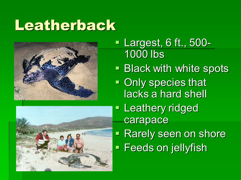 Leatherback  Largest, 6 ft., 500- 1000 lbs  Black with white spots  Only species that lacks a hard shell  Leathery ridged carapace  Rarely seen o