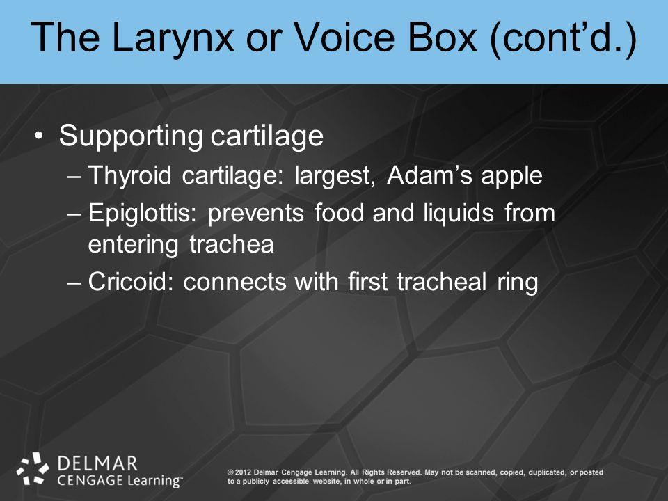 The Larynx or Voice Box (cont'd.) Supporting cartilage –Thyroid cartilage: largest, Adam's apple –Epiglottis: prevents food and liquids from entering trachea –Cricoid: connects with first tracheal ring