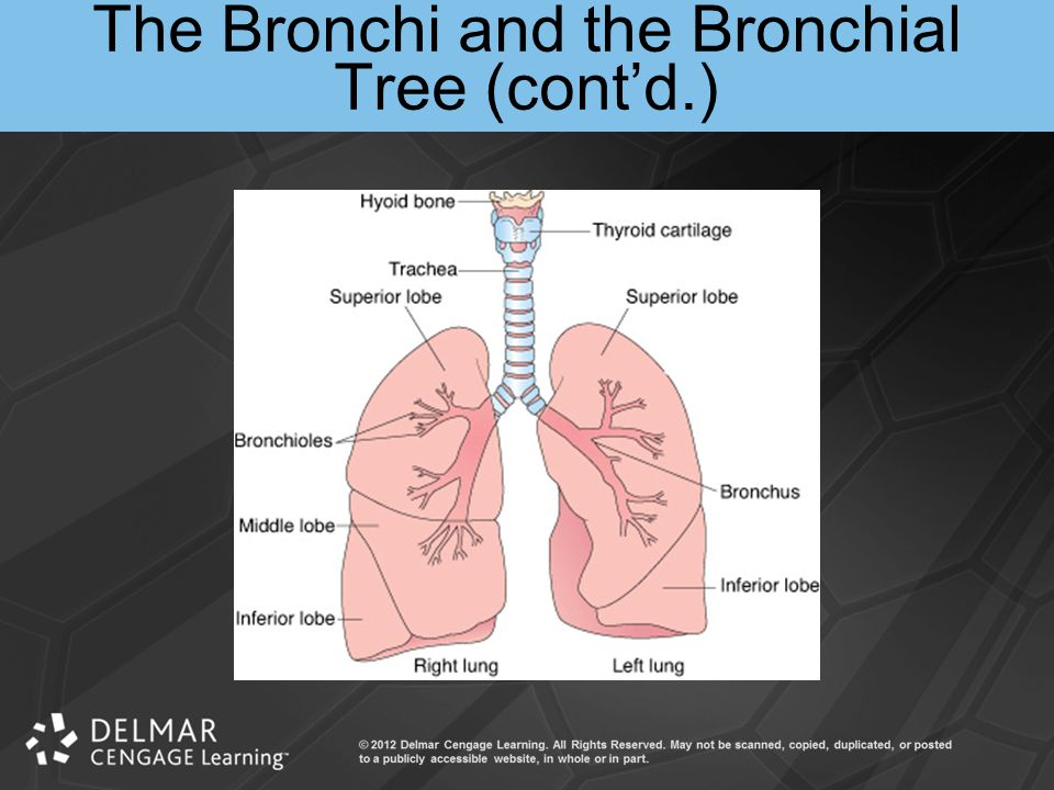 The Bronchi and the Bronchial Tree (cont'd.)