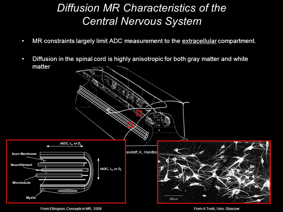 Davidoff, A., Handbook of the Spinal Cord MR constraints largely limit ADC measurement to the extracellular compartment.