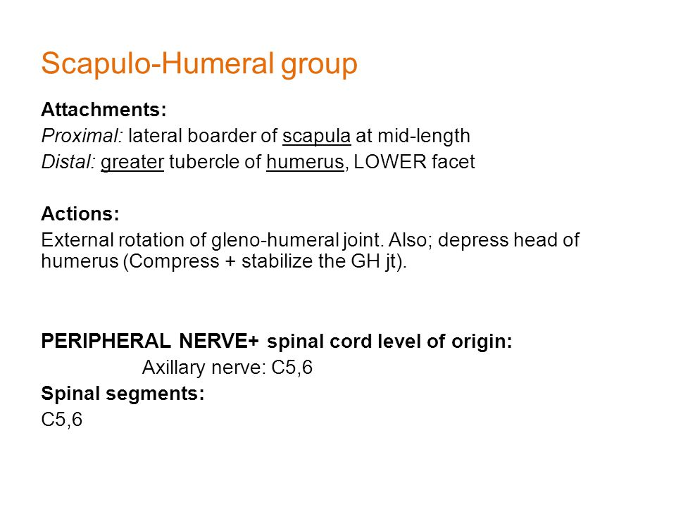 Scapulo-Humeral group Attachments: Proximal: lateral boarder of scapula at mid-length Distal: greater tubercle of humerus, LOWER facet Actions: External rotation of gleno-humeral joint.