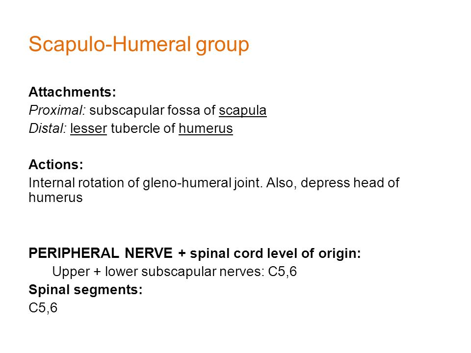 Scapulo-Humeral group Attachments: Proximal: subscapular fossa of scapula Distal: lesser tubercle of humerus Actions: Internal rotation of gleno-humeral joint.
