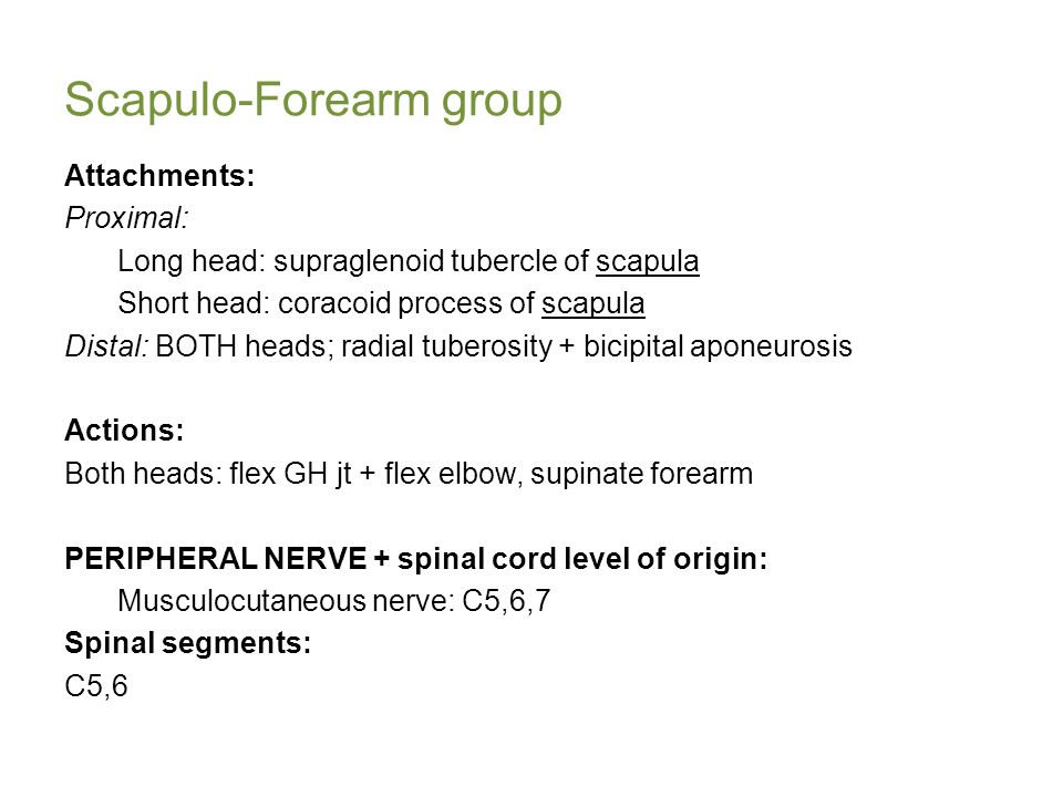 Scapulo-Forearm group Attachments: Proximal: Long head: supraglenoid tubercle of scapula Short head: coracoid process of scapula Distal: BOTH heads; radial tuberosity + bicipital aponeurosis Actions: Both heads: flex GH jt + flex elbow, supinate forearm PERIPHERAL NERVE + spinal cord level of origin: Musculocutaneous nerve: C5,6,7 Spinal segments: C5,6