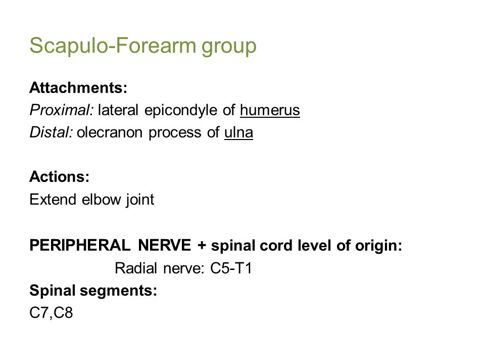 Scapulo-Forearm group Attachments: Proximal: lateral epicondyle of humerus Distal: olecranon process of ulna Actions: Extend elbow joint PERIPHERAL NERVE + spinal cord level of origin: Radial nerve: C5-T1 Spinal segments: C7,C8