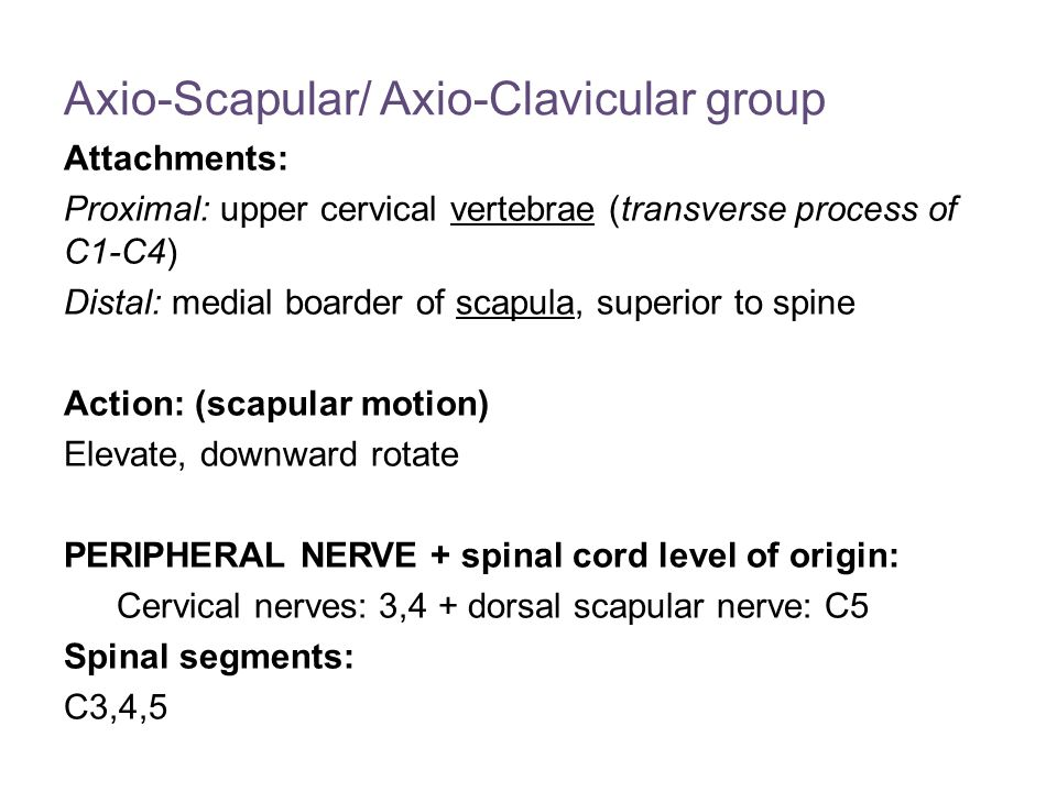 Axio-Scapular/ Axio-Clavicular group Attachments: Proximal: upper cervical vertebrae (transverse process of C1-C4) Distal: medial boarder of scapula, superior to spine Action: (scapular motion) Elevate, downward rotate PERIPHERAL NERVE + spinal cord level of origin: Cervical nerves: 3,4 + dorsal scapular nerve: C5 Spinal segments: C3,4,5